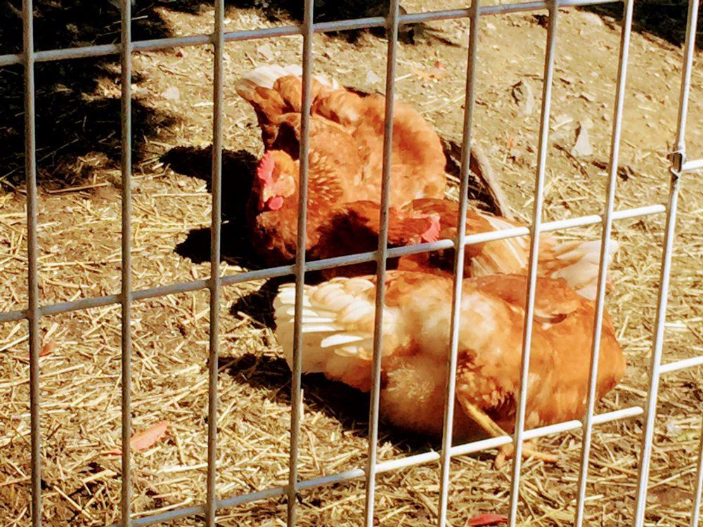 農業のやり方。鶏の飼い方