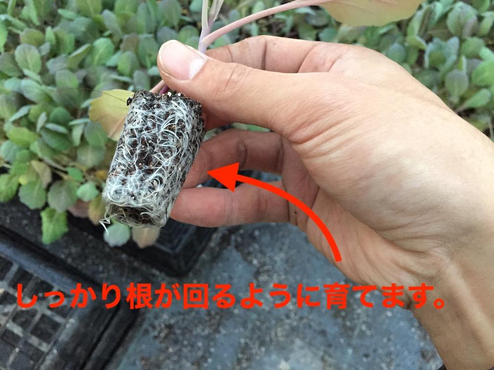 キャベツの苗の根の巻き具合