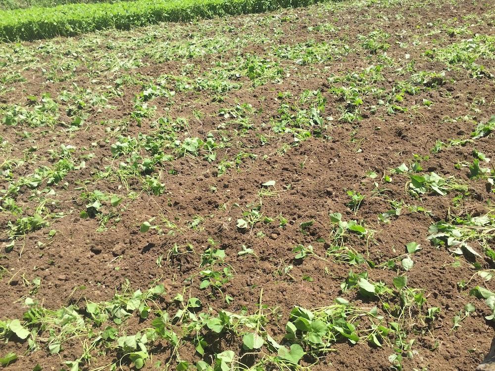 雑草のない畑の作り方。雑草が生えたら、草丈が低いうちにすき込む。