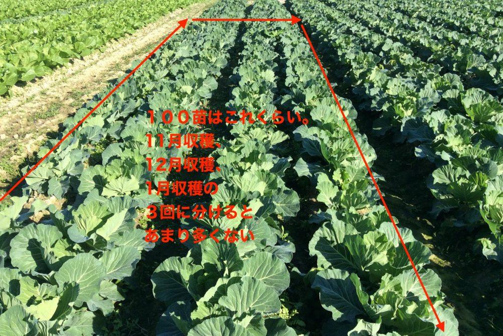 キャベツ苗100苗はこれくらいの面積のイメージです。