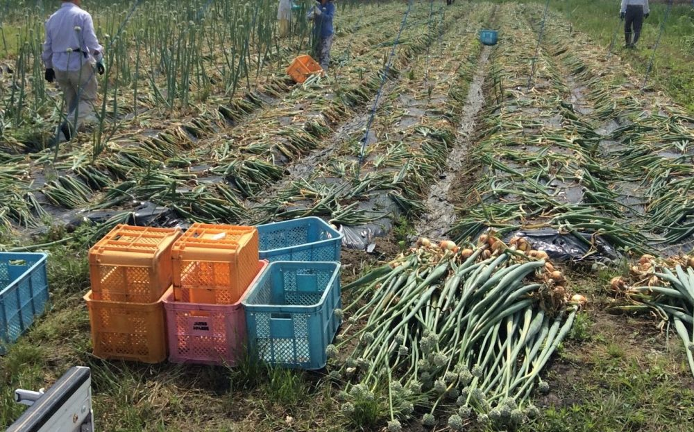 200kgのタマネギ栽培のトウ立ち