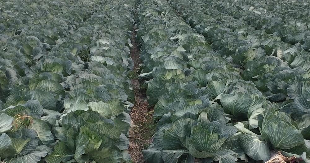 キャベツを10月中旬から収穫するなら。