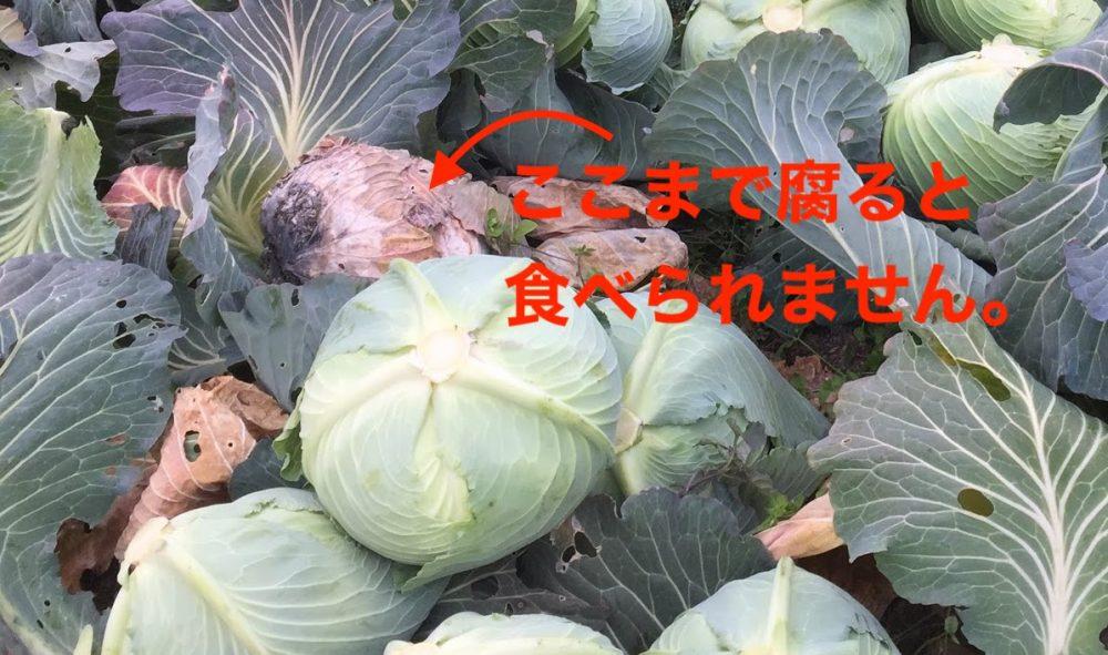 キャベツの黒腐病はここまで腐ると食べられません。