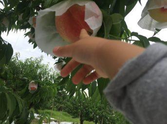 桃の旬がはじまりました