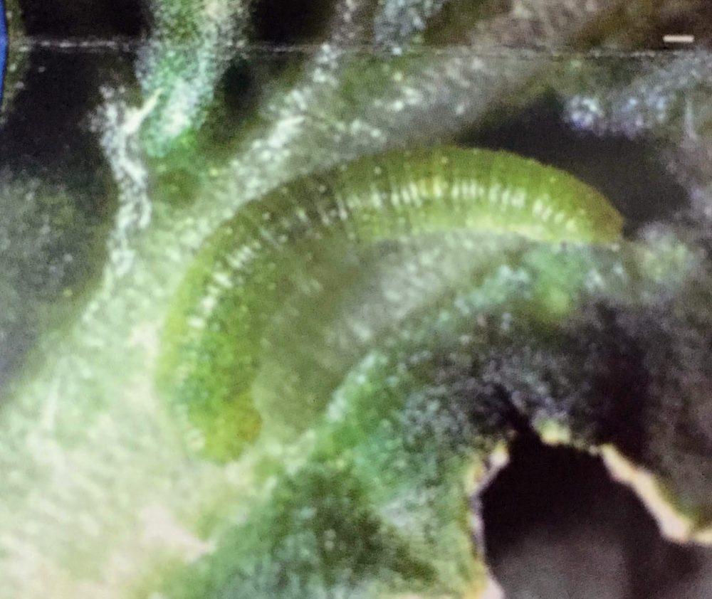 モンシロチョウの幼虫