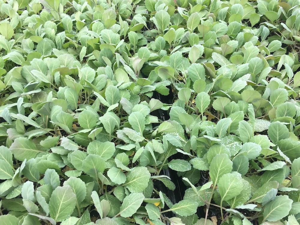 キャベツの苗を8月に植える