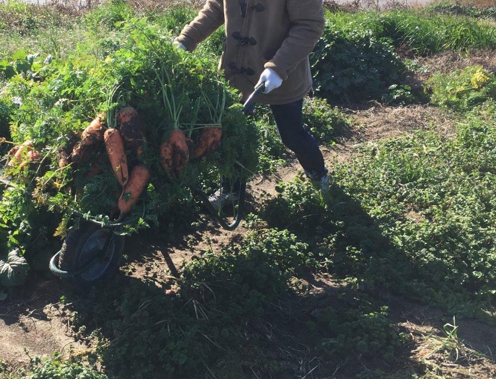 収穫祭で抜いたニンジンをジャンジャン運びます。
