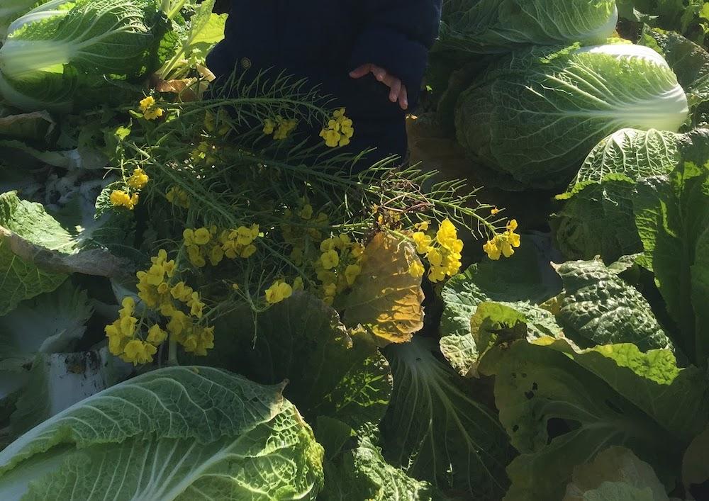 8月にタネを蒔く白菜。