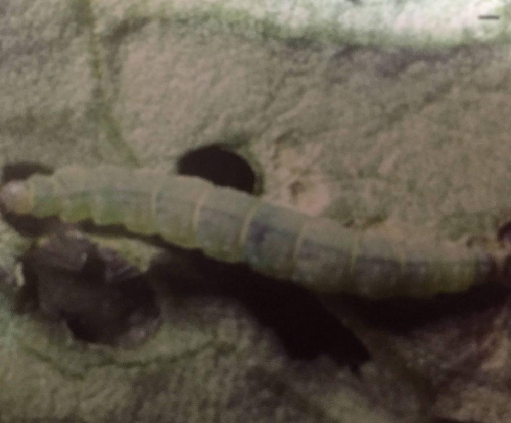コナガの幼虫。