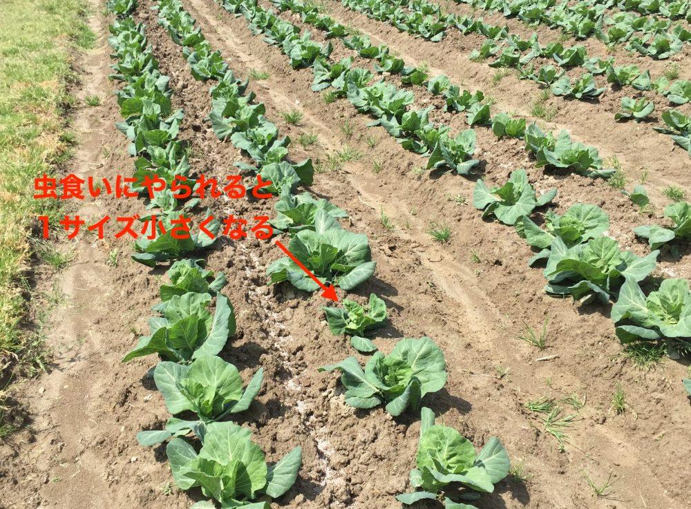 キャベツが虫食いでやられても復活させた2つの方法は、追肥と害虫対策
