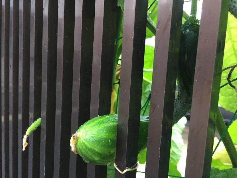 きゅうりの支柱を少なくしてネットの強度を保つのに、柵に立てかけるのもあり。きゅうりが柵の間に挟まってしまいました。
