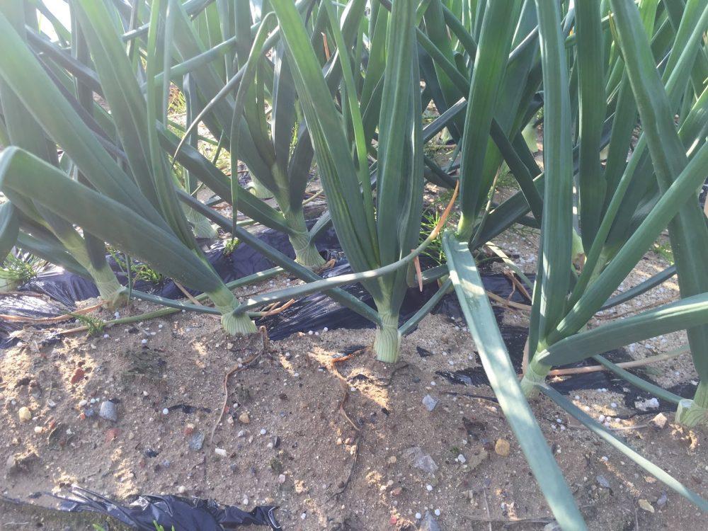 タマネギ栽培でトウ立ちを防ぐには、老化なえを防ぐ。