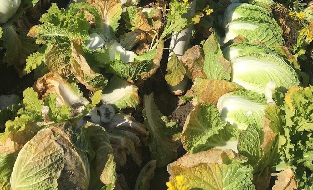 白菜の外葉でガードして、中はきれいです。