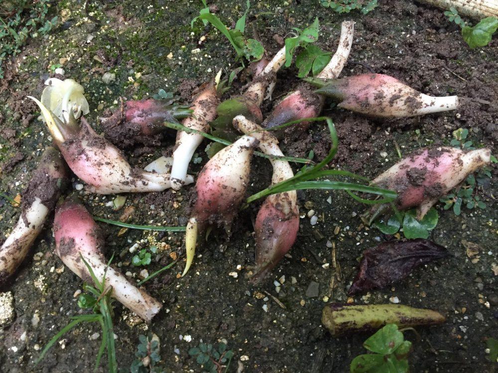 家庭菜園で、ミョウガがたっぷり取れました。