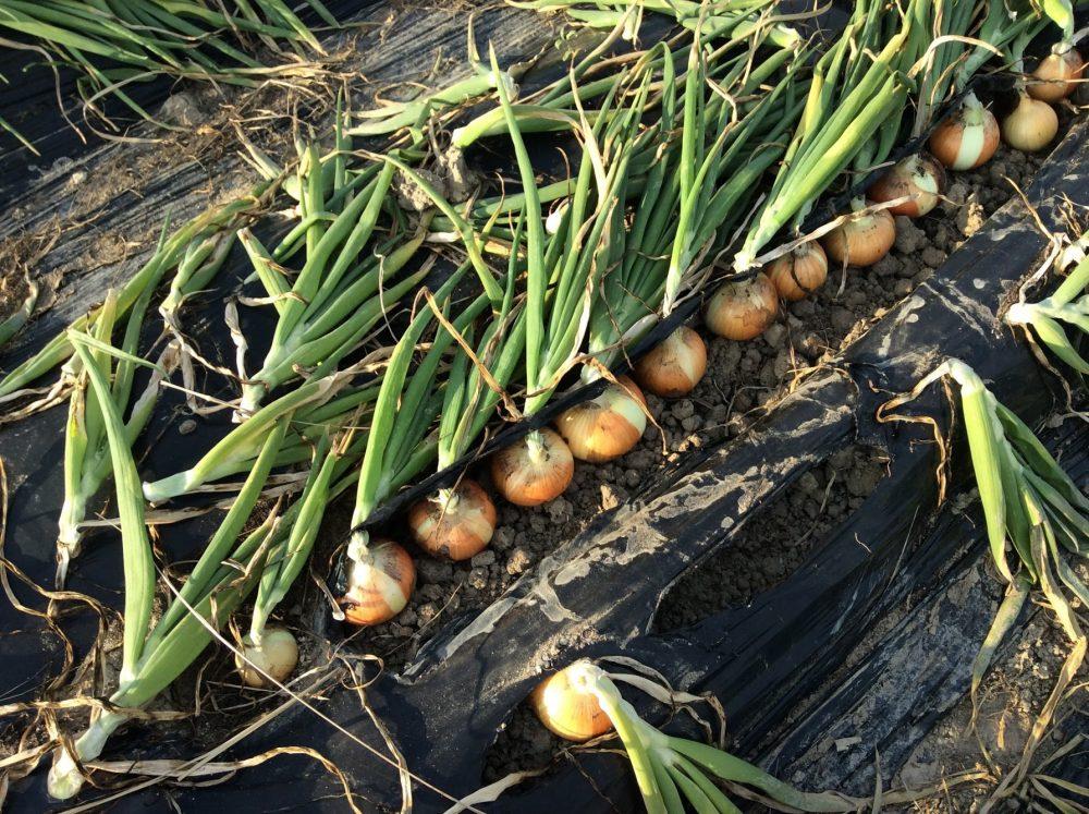 理想のタマネギ栽培、トウ立ち0の収穫