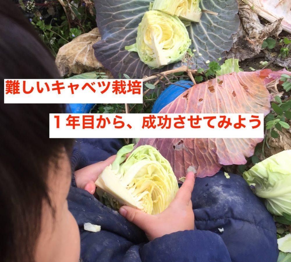 難しいキャベツ栽培を、1年目から成功させてみよう。