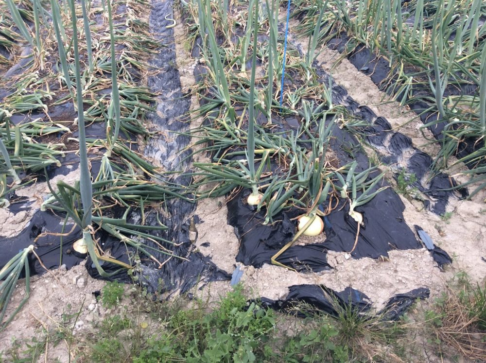 タマネギ栽培の収穫時期。トウ立ちしたものも、同じ時期に収穫すると、食べる場所が多い。