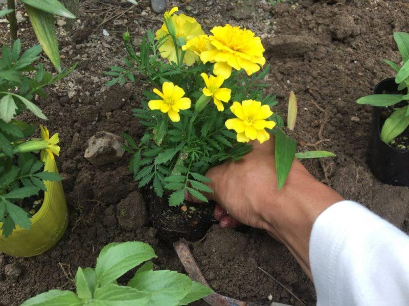 マリーゴールドの痛んだ花を摘芯した後に植えます。ねじり鎌で植え穴を作って植えます。