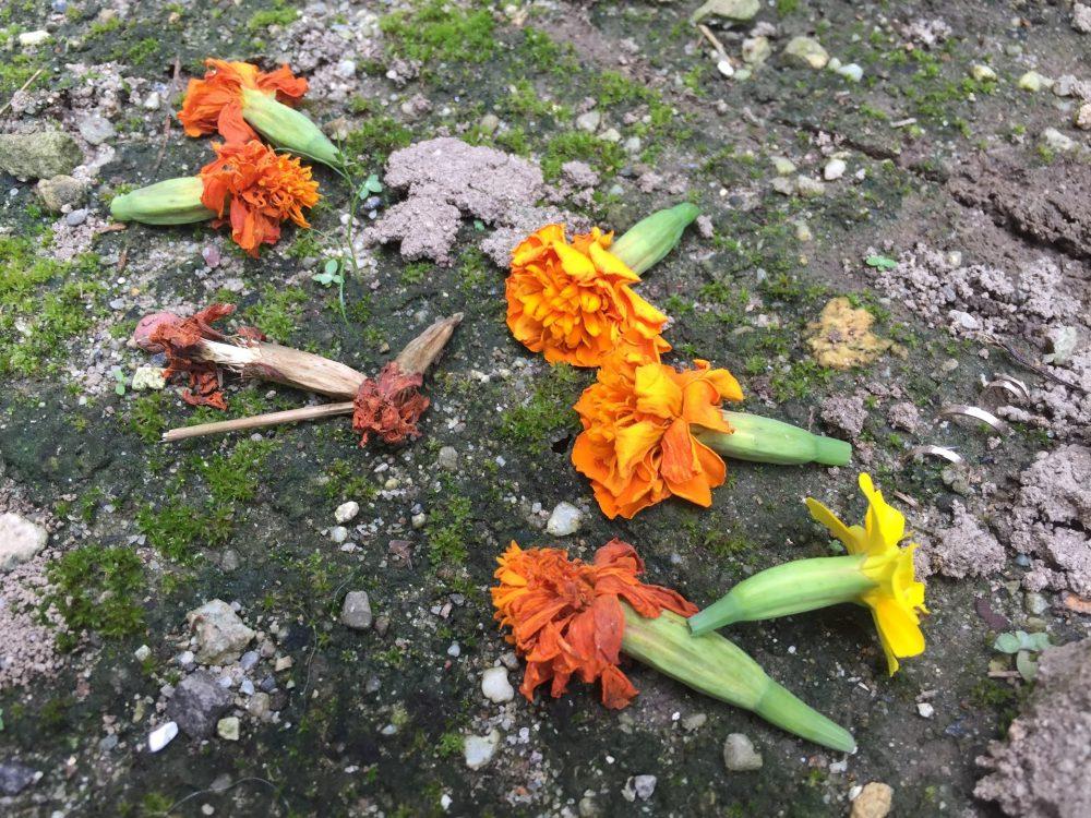 摘芯したマリーゴールドの痛んだ花たち。