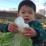 白菜のパオパオがなくても、おいしい白菜はできる