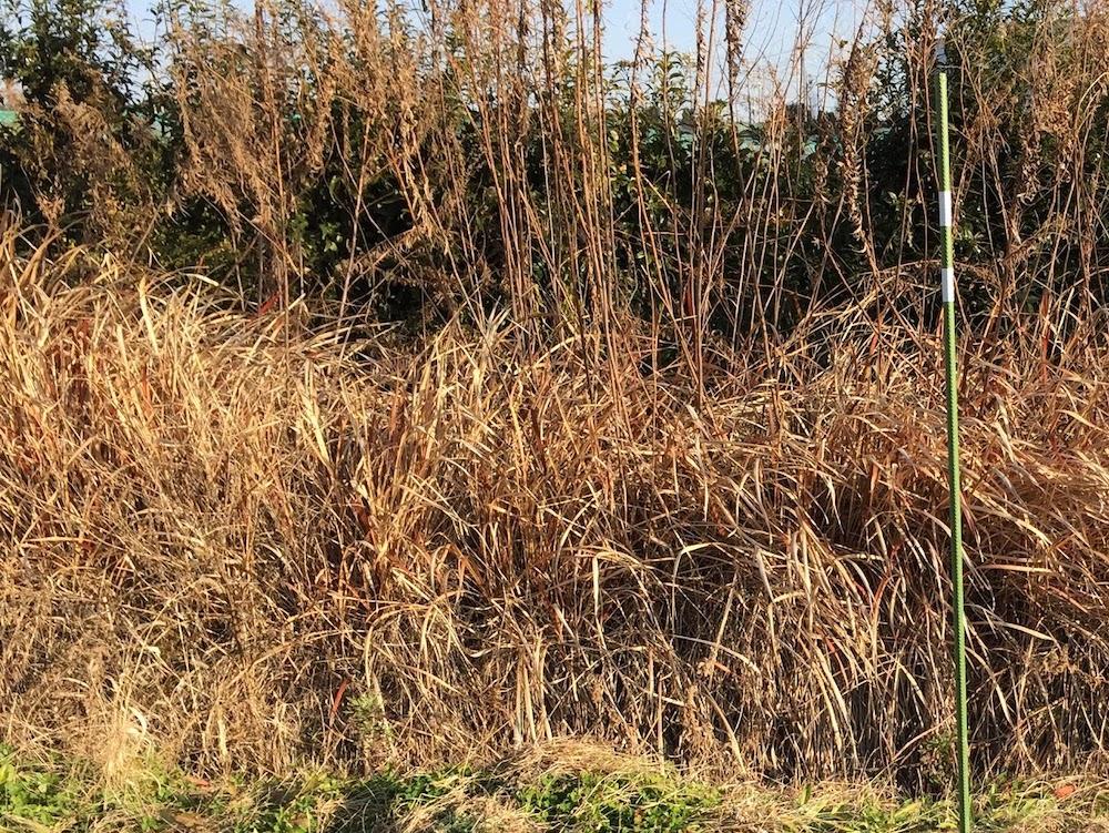 雑草100の状態から、雑草10まで、雑草のない畑を作る。セイタカアワダチソウのある雑草だらけの畑