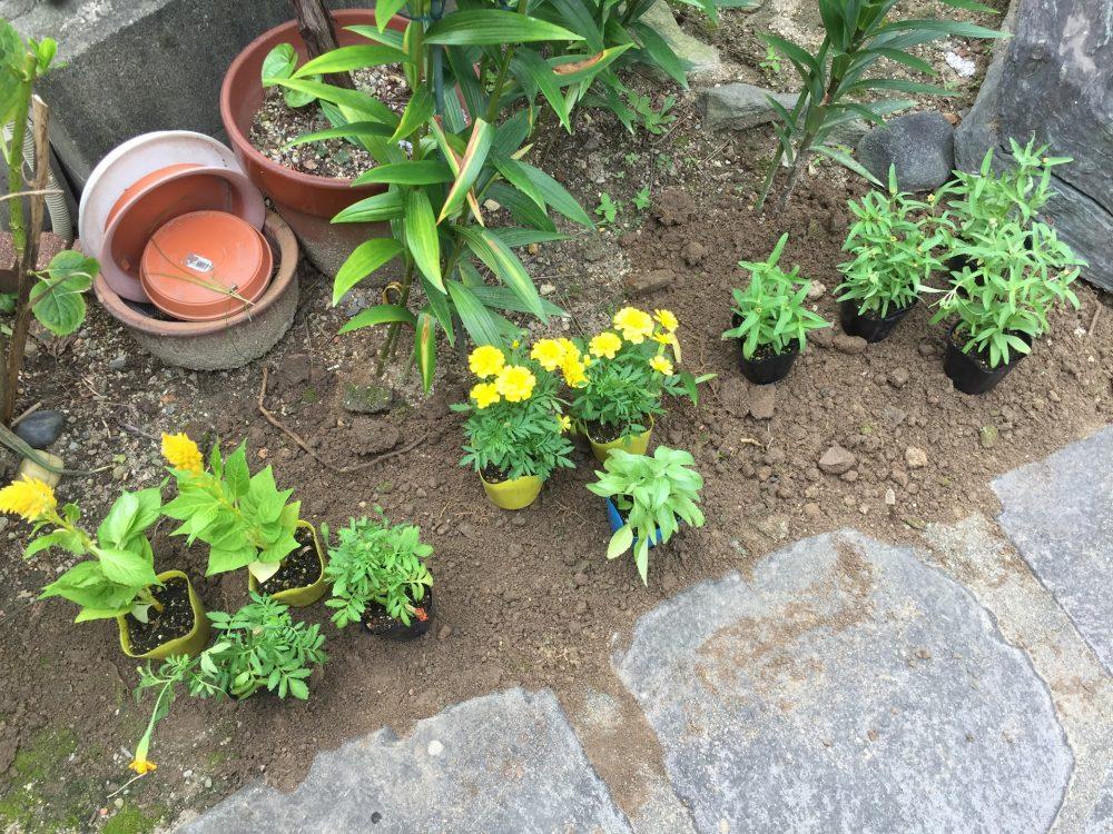 マリーゴールドの苗を植える予定の場所に、ポットに入れたまま仮置きします。デザインです。