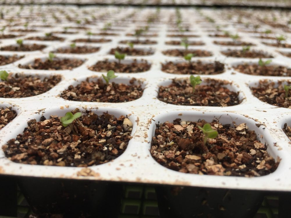 キャベツの苗がきれいに発芽しました。発芽率は90%以上。