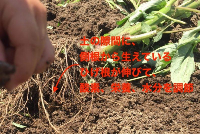 土の隙間に植物の根が進み、ひげ根から酸素、水分、栄養を調節しています。隙間がないと育たない