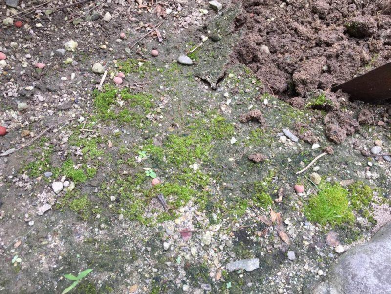 摘芯したマリーゴールドの苗を植える前の土です。スコップで20cm掘ります。