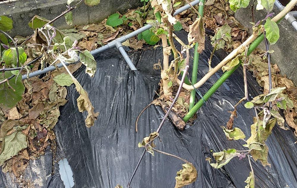 今年のナス栽培が終わりました。草取りはなし。全面マルチのおかげ。