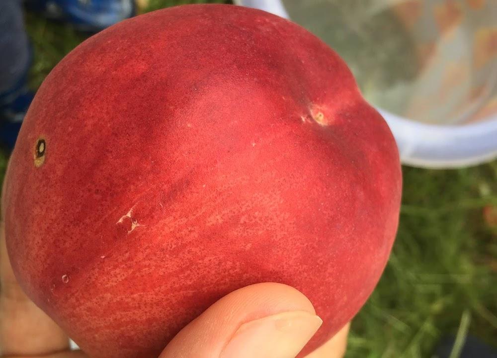 桃を水で洗います。