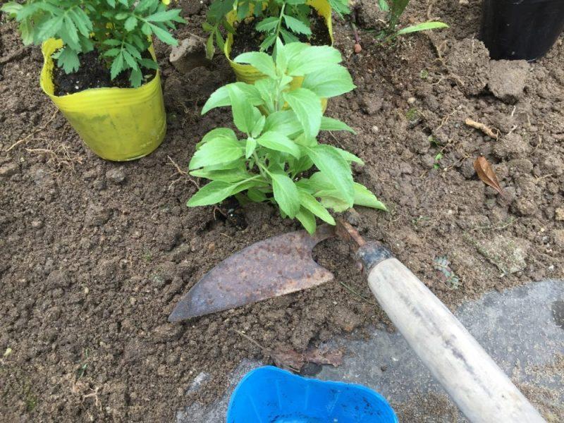 マリーゴールド以外も植えていきます。この時も花芽がついていれば摘芯します。