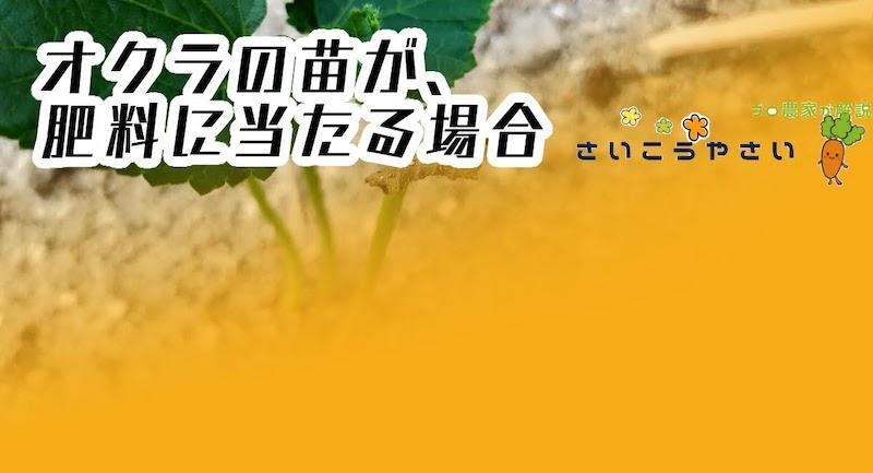 オクラ苗が枯れそうな時、肥料に当たった時の対処