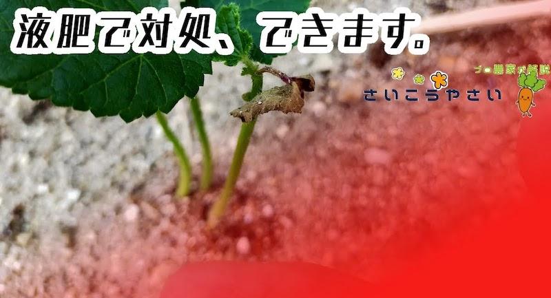オクラ苗が枯れそうな時、液肥で対処できます。