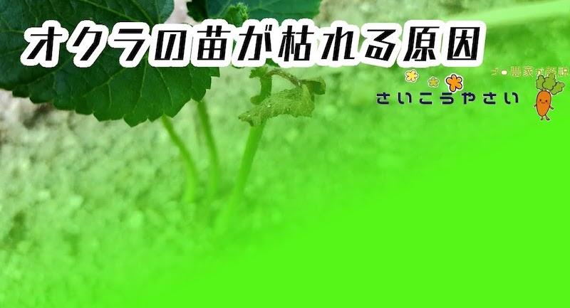 オクラの苗が枯れる原因
