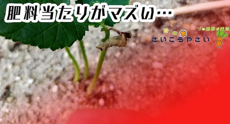 オクラ苗が枯れそうな時、肥料あたりしていませんか?