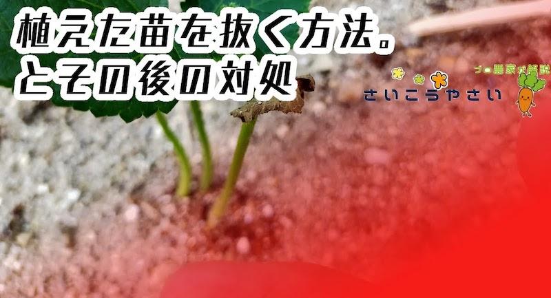 オクラ苗が枯れそうな時、植えた苗を抜く方法があります。