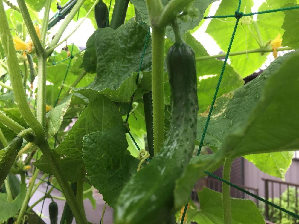 朝採り野菜は、温度がとても美味しい理由