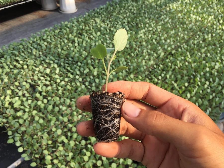 17日目キャベツ苗の水やり。窒素(N)が入った液肥を加えて、水やりしていきます。