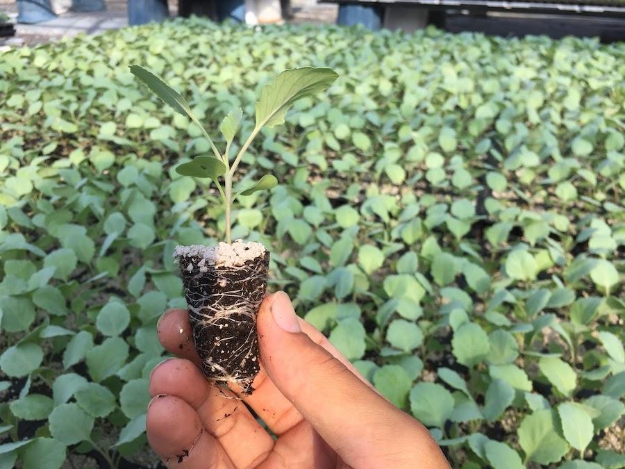 19日目キャベツ苗の水やり。窒素(N)が入った液肥を加えて、水やりしていきます。