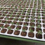 ホストップ液肥を使い、均一にキャベツ苗を育てる
