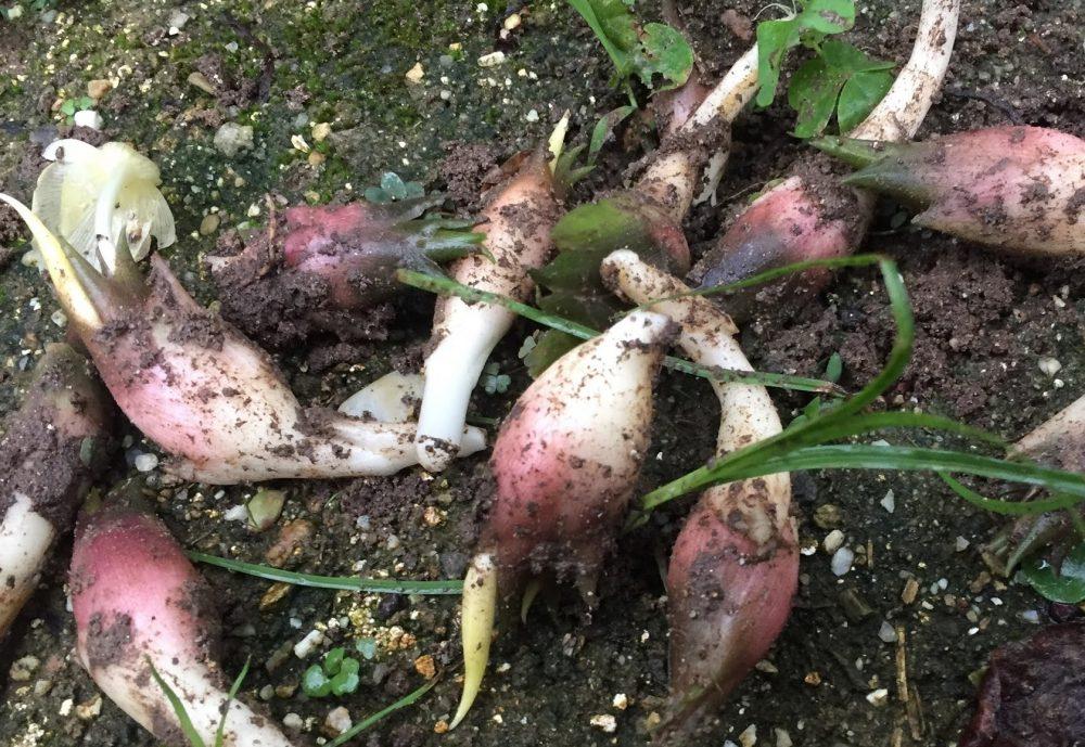 みょうがは費用がかからない家庭菜園の野菜の1番です。