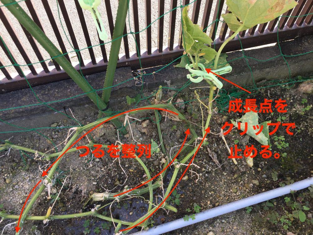 きゅうりのつるをおろしたら、成長点をきゅうりネットにクリップで止めます。