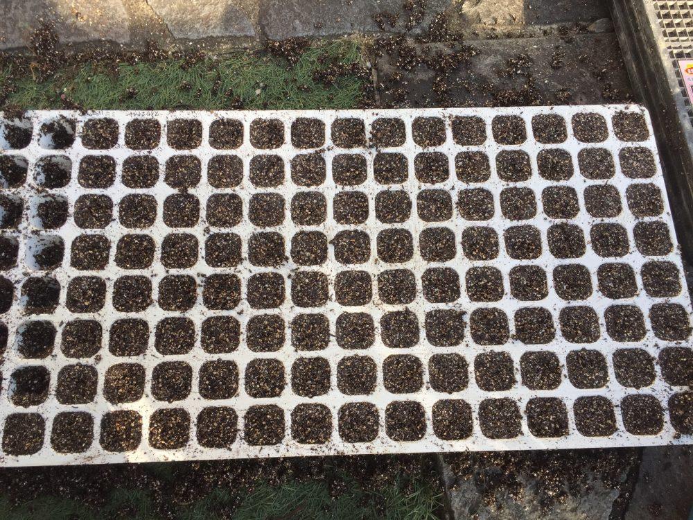 これで種まきが完了です。冷暗所で1日置いて、日に当てないで発芽を促します。