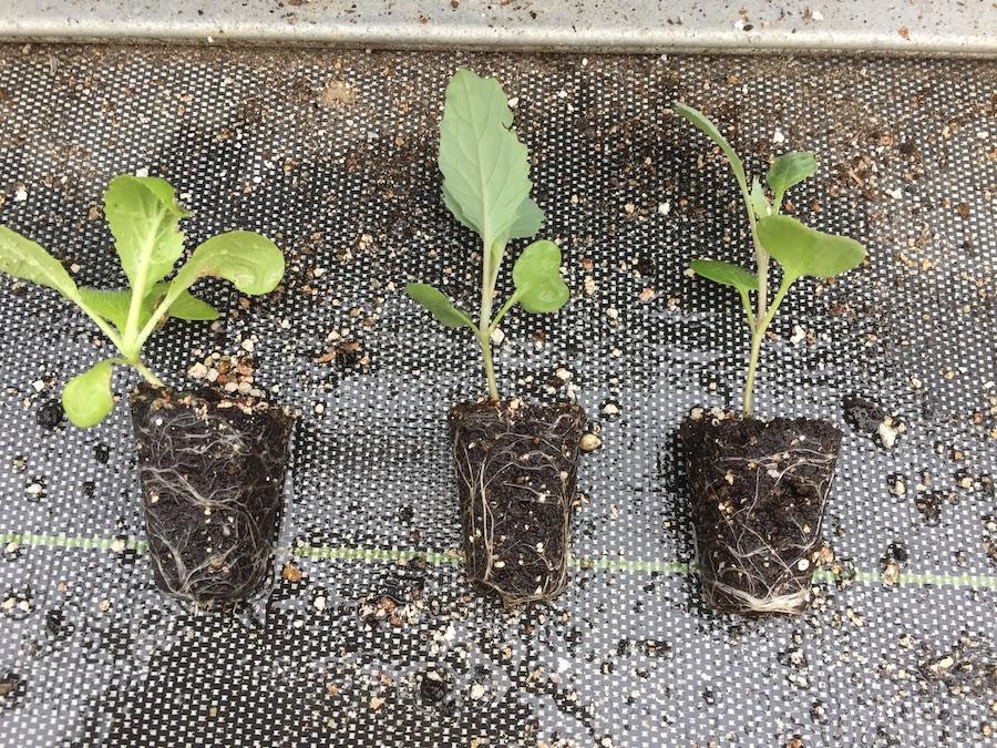 キャベツ苗を育てている時、30日間で水をやりすぎると徒長しやすい