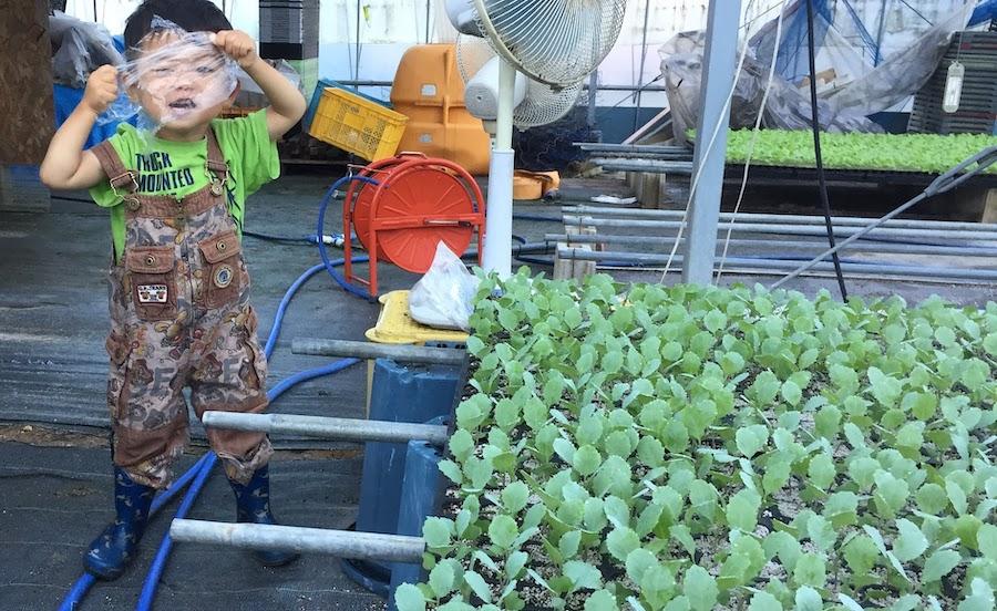 30日目でキャベツ苗が育ったら水やりをしっかりして植えましょう
