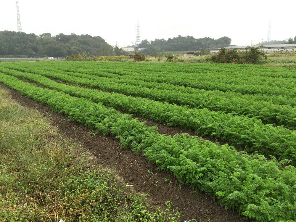 有機JAS人参を生産している畑の1つ