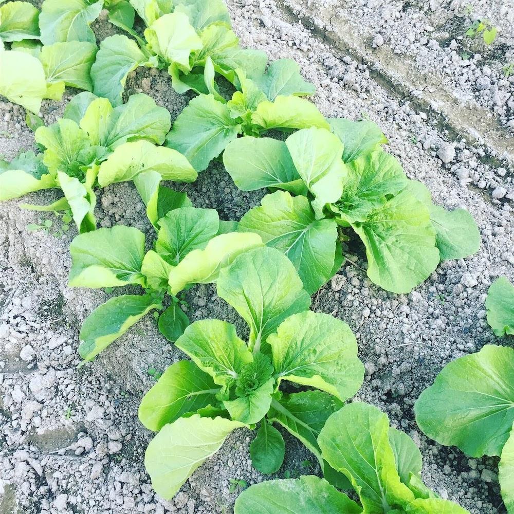 畝からハクサイが溢れる前に、2回目の追肥をします。