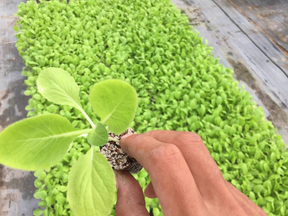 植えれるようになったハクサイの苗