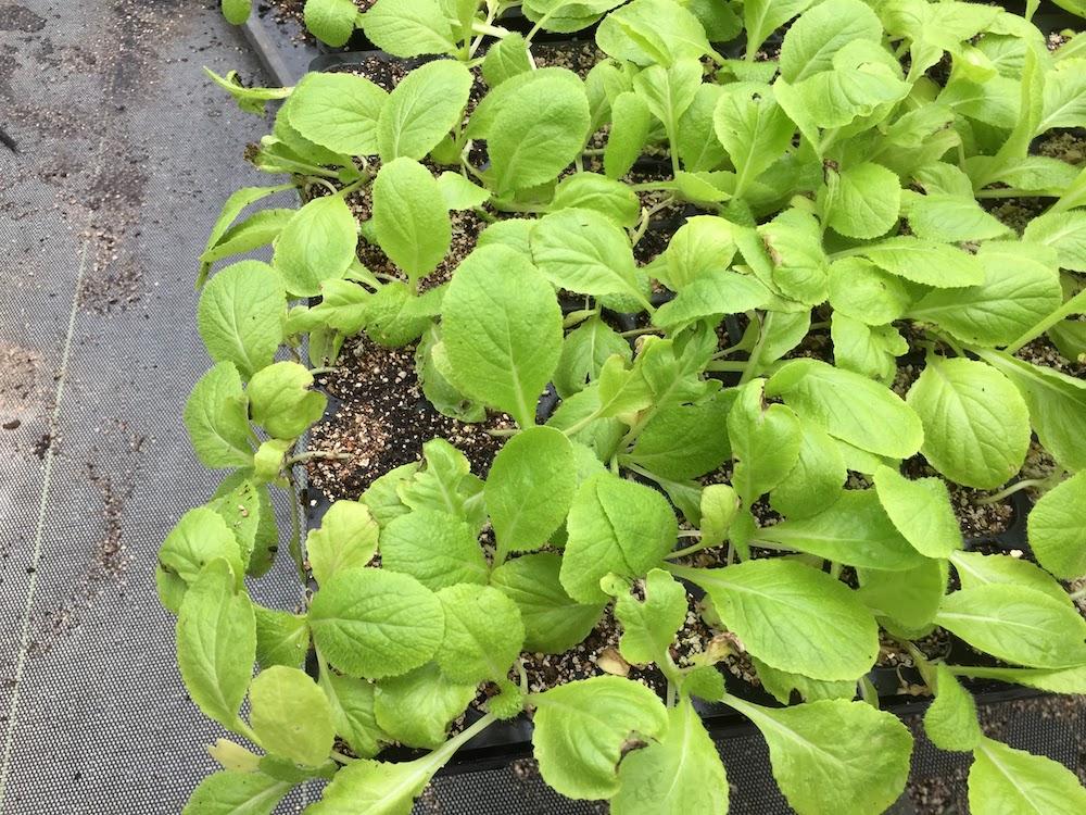 ハクサイの種まきはセルトレイ栽培が育てやすい